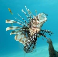 Lionfish at Mnemba