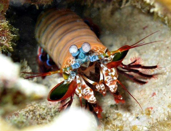 Mantis shrimp zanzibar