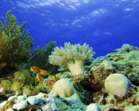 Mnemba corals