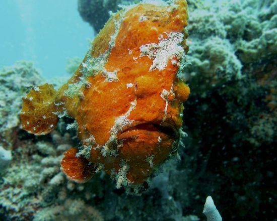 Zanzibar giant frogfish