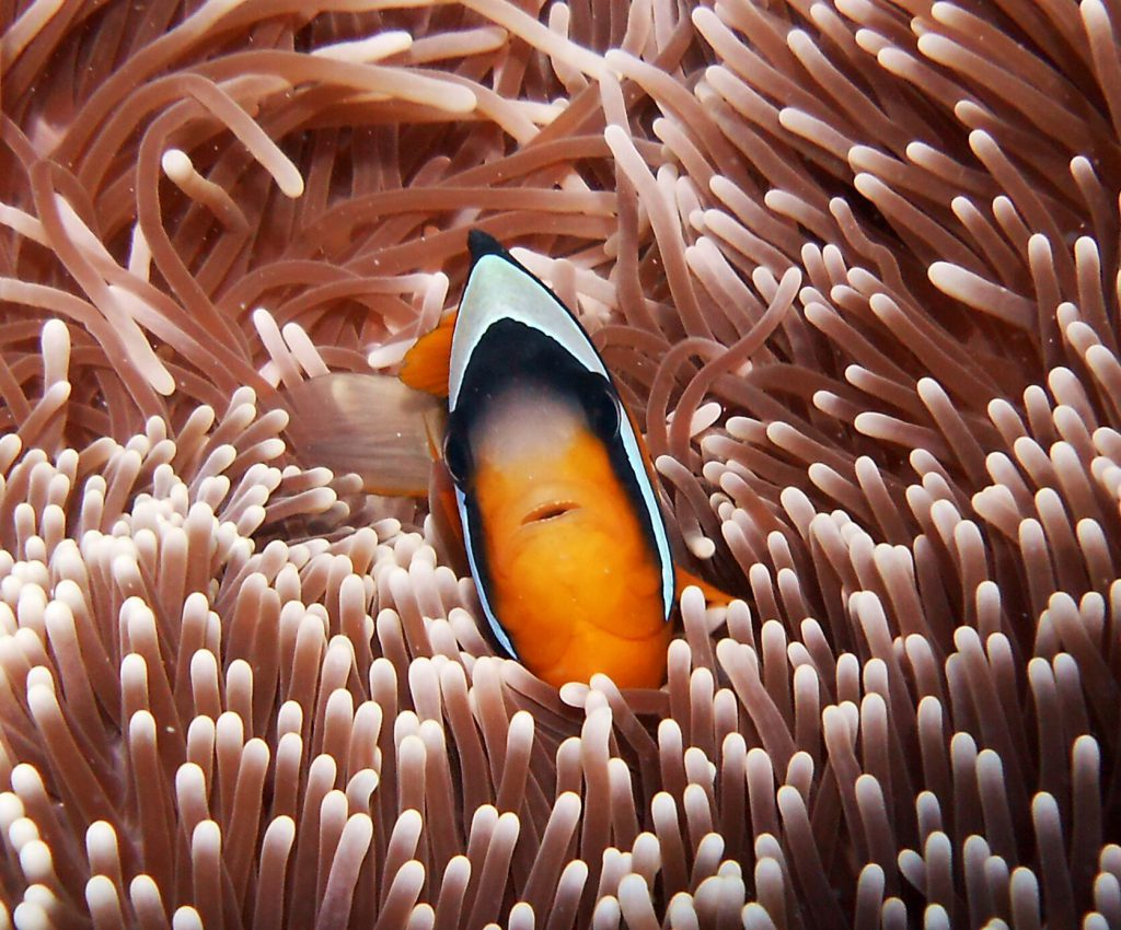 Clownfish at Stone Town