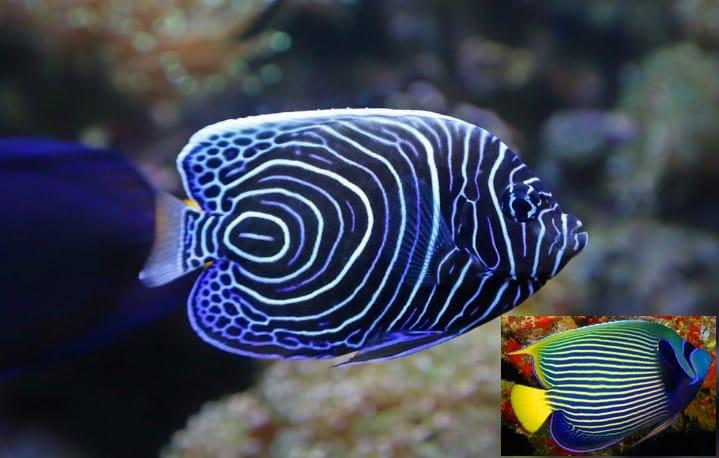 Diving In Zanzibar Find The Emperor Angelfish One